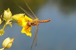 Sympetrum vulgatum